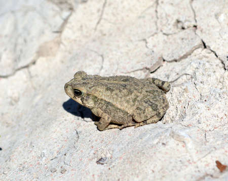 wart: Toad on a Rock
