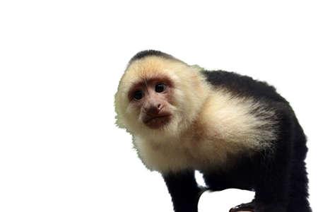primer plano cara: Capuchino cara cerca aisladas sobre fondo blanco Foto de archivo