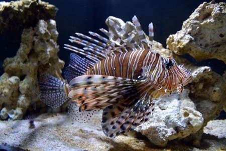 salt water fish: Lion Fish swimming