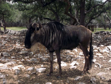 Sideview of adult Wildebeest
