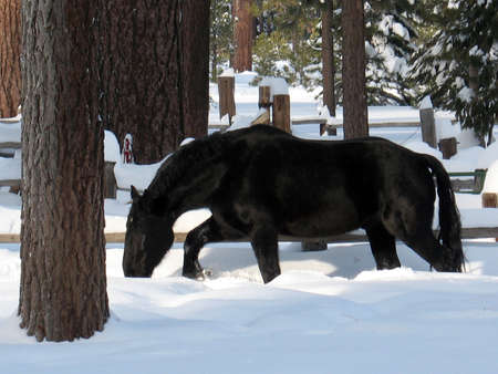 horse in snow: Black horse eating snow on the ground