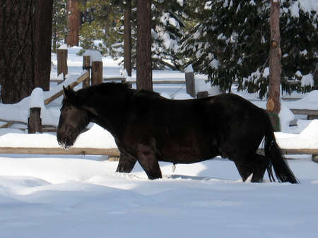 horse in snow: Black horse walking in deep snow