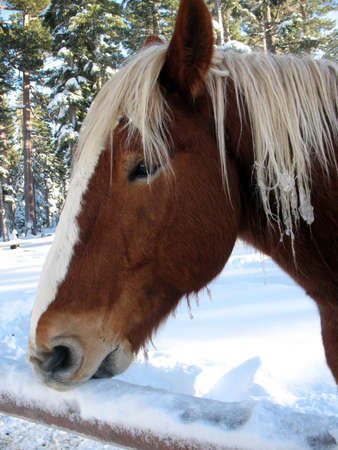 horse sleigh: Brown horse eating snow off a fence