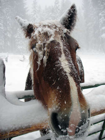 horse sleigh: Horse face covered in snow during blizzard Stock Photo