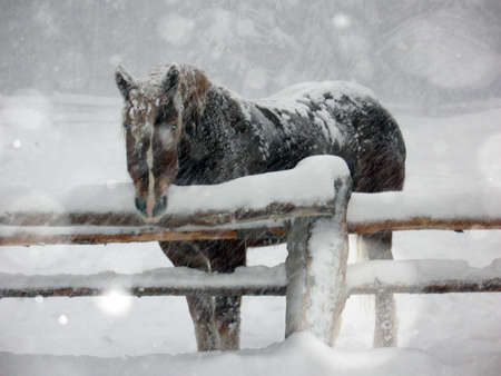 horse in snow: Dark brown horse standing in a snow storm