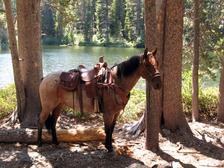 tack: Trail horse wearing saddle and tack standing by a lake. Stock Photo