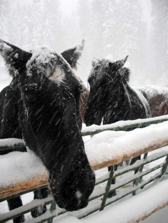 horse sleigh: Two horse faces in a snow storm Stock Photo
