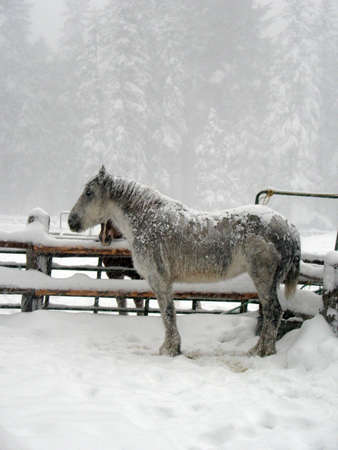 horse sleigh: White horse covered in snow, standing in a storm