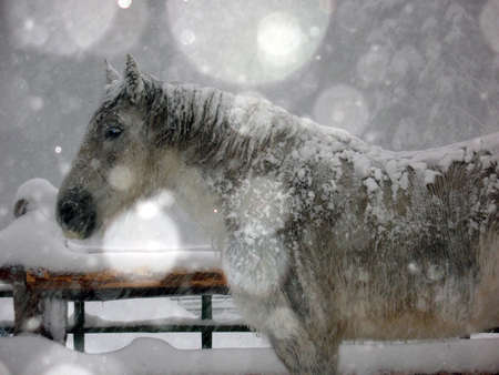 White and Grey horse in a snowstorm