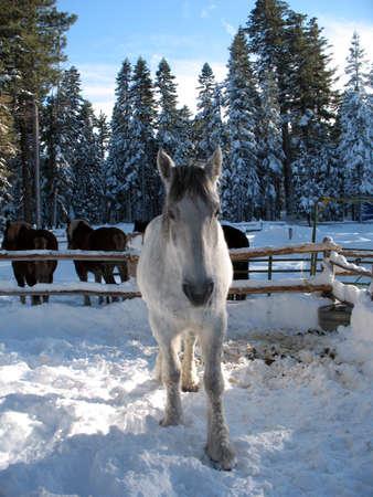 horse sleigh: White horse walking forward in the snow