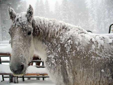 horse sleigh: White and gray horse covered in snow during a blizzard.