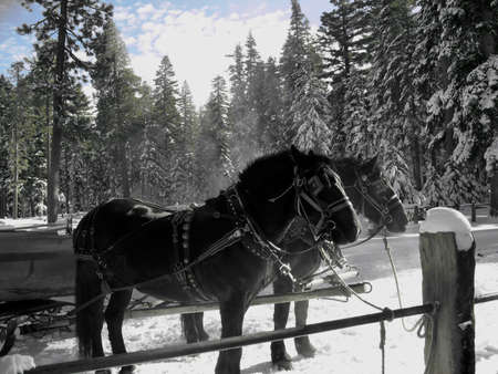 tack: Two Black horses wearing sleigh tack in the snow