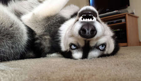 Siberian Husky laying on its back smiling and showing teeth
