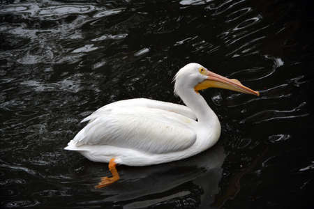Great white pelican floating in water