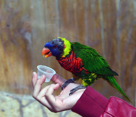Rainbow glory parrot eating from a hand