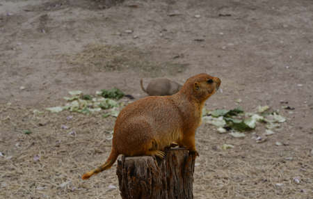 perched: Side view of prairie dog perched on a tree stump Stock Photo