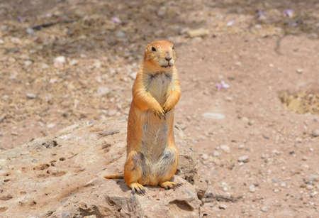 Prairie Dog sitting on its back legs posing