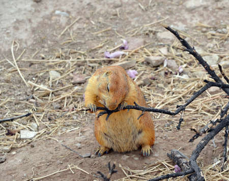 Prairie Dog chewing on a tree branch Imagens
