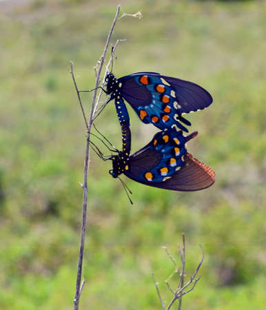 swallowtails: Breeding Pipevine Swallowtails