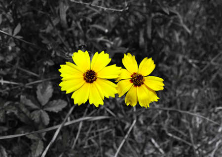 Two Coreopsis flowers