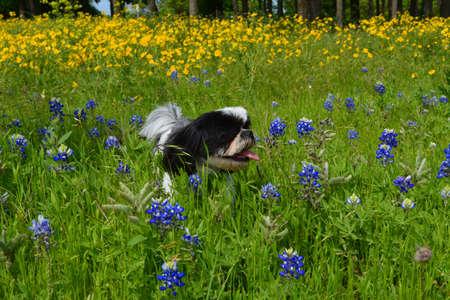 Shih Tzu dog running through wildflowers