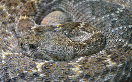 Close up of Rattlesnake coiled up Imagens