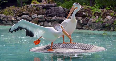 Pelicans doing ballet