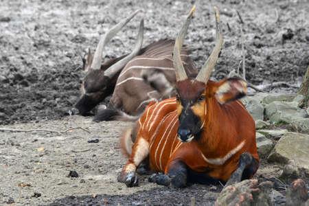 Bright orange Bongo steer laying in rock