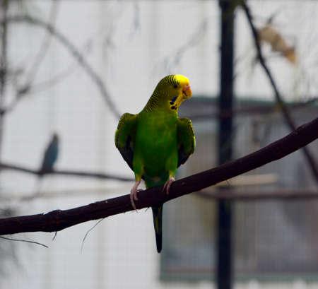 Enige groene parkiet die op een tak wordt neergestreken