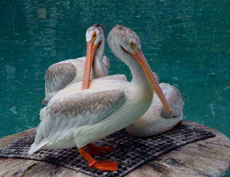 Group of three pelicans standing on a platform in a pond
