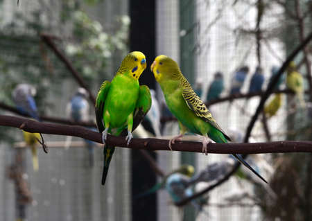 Two green parakeets talking to each other
