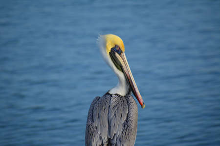 Old colorful pelican close up