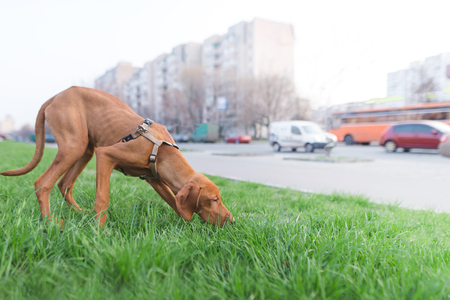 A brown dog sniffs green grass against the background of the city. A walk of a beautiful young dog in the city.