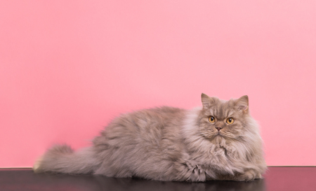 ?ute fluffy gray cat lays on a pastel pink background and looks up on copyspace. Pet is isolated on a pink background. 版權商用圖片