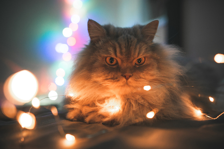 Close-up photo of beautiful, gray, fluffy, adult cat, lying on a bed of lights bokeh. Pet lays on the bed in the Christmas garland, background of the lights. Fluffy cat at night in the bedroom lights