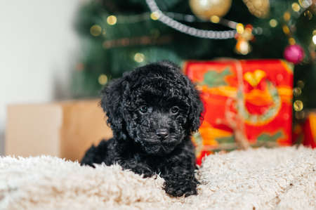 Cute black dog breed toy poodle lies on a plaid on the background of Christmas trees and Christmas presents. Stock Photo