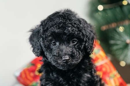 Portrait of a black dog breed poodle toy on a background of Christmas tree and Christmas gifts. Stock Photo