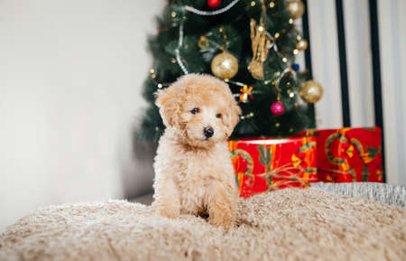 Funny light puppy breed toy poodle sitting on a blanket under the Christmas tree on a background of boxes with gifts. Christmas and New Year. Stock fotó