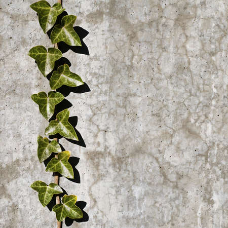Grunge wall background with creeper plant