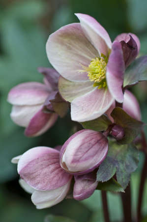 Hellebore spring flower close up Stock Photo