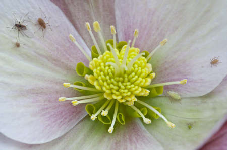 invader: Aphis infected hellebore close up