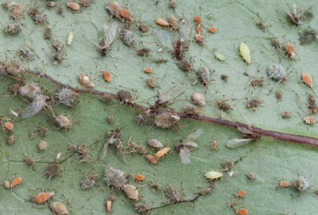 Aphis infected leaf close up Stock Photo