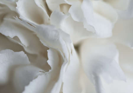 White carnation close up