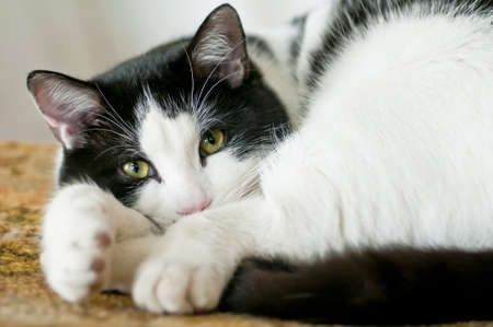 Adorable black and white cat laying comfortable