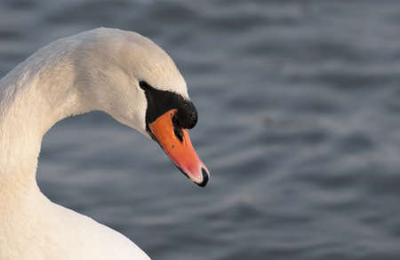 Head of a swan front of water