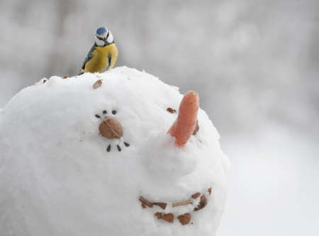 cyanistes: A blue tit  Cyanistes caeruleus  is eating seeds from a head of a snowman Stock Photo