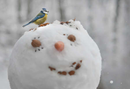 A blue tit  Cyanistes caeruleus  is eating seeds from a head of a snowman photo