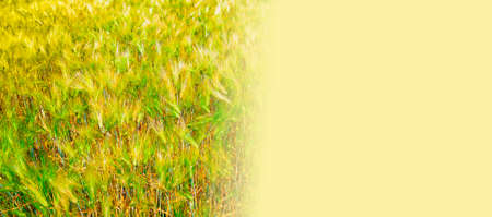 Cereal plants in the field, sunny day Stock Photo