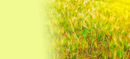 Cereal crops in the field, sunny day