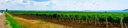 Grape plantations from the regions of southern Russia